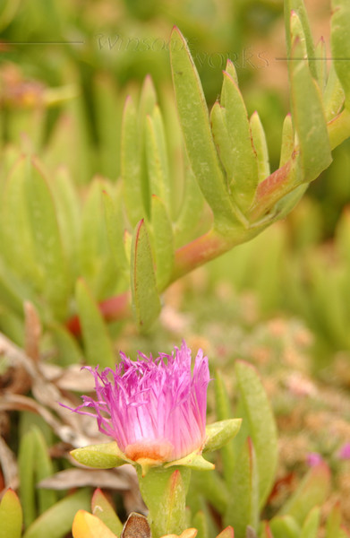 Iceplant (Carpobrotus chilensis) - Pacific Beach, CA
