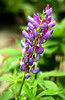 Lupine in Warren, PA (fx)