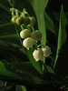 Lily of the Valley- light & shadow