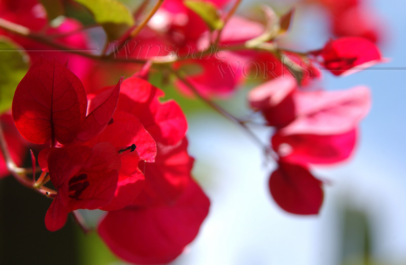 Bougainvillea flowers in Pacific Beach, CA