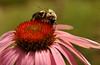 Bumblebee on purple coneflower (echinacea)