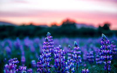 """Purple Craze""  A beautiful display of color from wild lupine flowers and a perfect sunset in East San Diego, California."