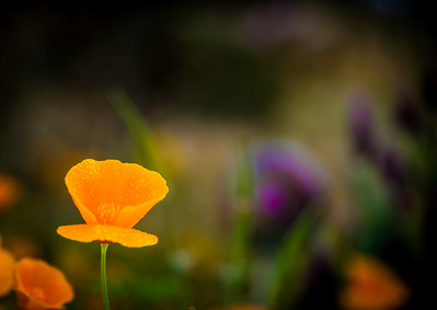 """May Flowers""  An early morning shower leaves behind beads of water on these California Poppies."