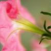 Pink Petunia - Petunia x hybrida