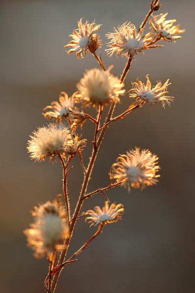 ~ Evening Radiance ~<br /> <br /> Make way winter blah's... for with sunset even weeds are glorious.