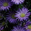 Aster Raydon's Favorite Bunch