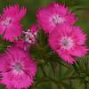 Pink Flowers<br /> Zilker Botanical Garden, Austin, TX