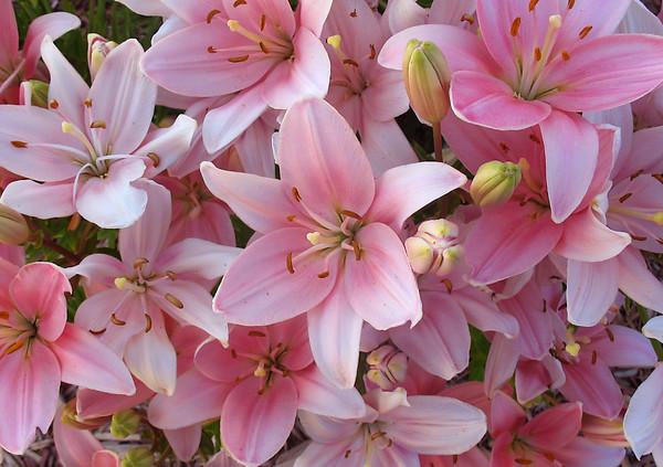 Pink Lilys
