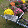 Wheelbarrow of Mums
