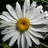 Daisy and Drops