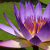 Purple Waterlily and Pad<br /> Zilker Botanical Garden, Austin, TX