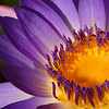 Purple Waterlily<br /> Zilker Botanical Garden, Austin, TX