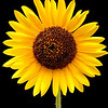 Sunflower on Black<br /> Charlotte, NC