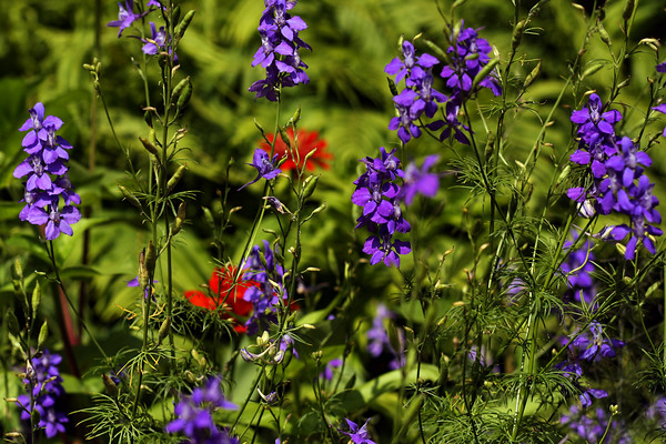Wildflowers, Zilker Botanical Gardens