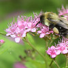 Bee and Pink Flowers