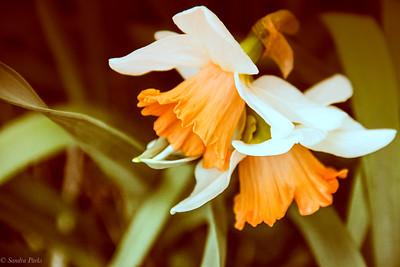 3-25-2020: Daffodils, Historical SOciety