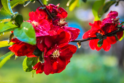 4-20-19: Flowering quince, home