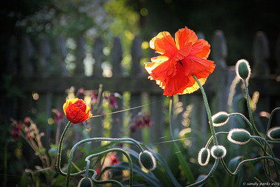5-13-14:  Poppies in my garden, 1st thing this morning
