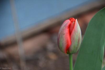 3-28-2020: Tulip, home