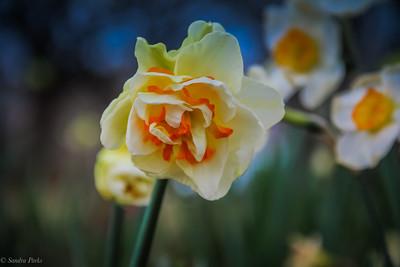 3-27-2020: Daffodil, Town Hall