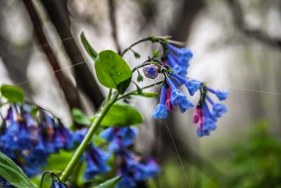 4-13-19: Virginia bluebells