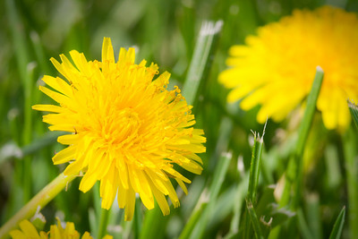Day 068 - Hunting Dandelions