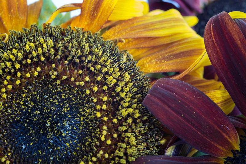 Sunflowers, Riva, MD,  1203,  July 26, 2015