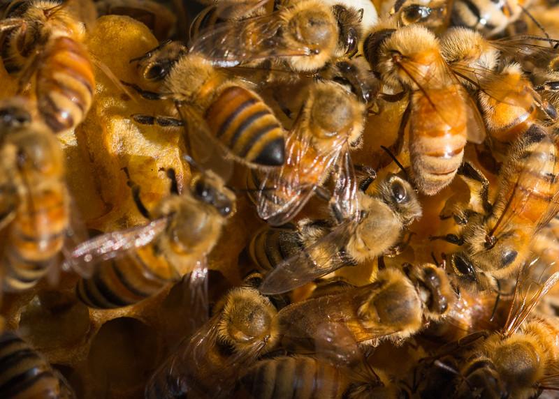 Riva MD, Honey Bees, 1758,  June 08, 2016