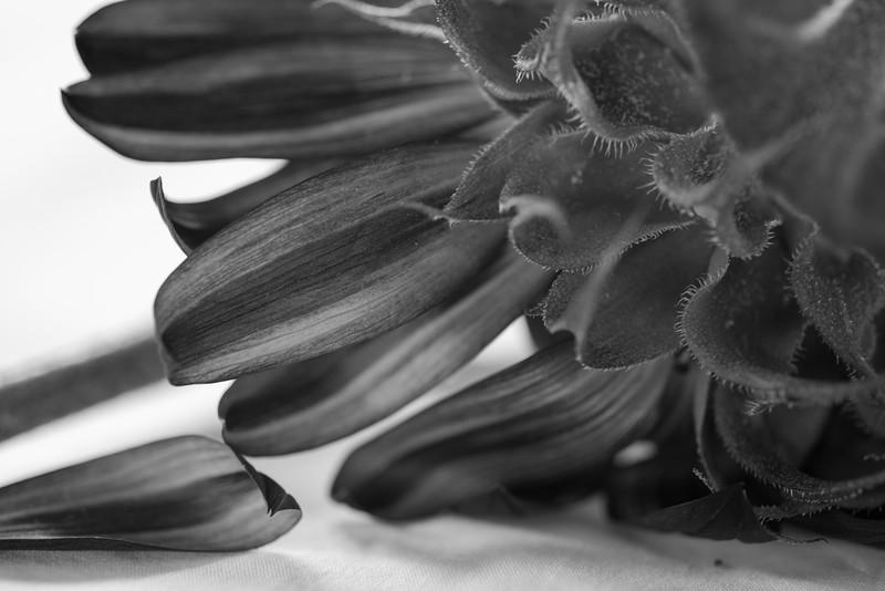 Sunflowers, Riva, MD,  1215,  July 26, 2015