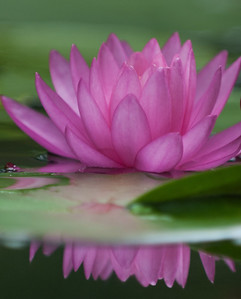 Water Lily -0104July 27, 2013