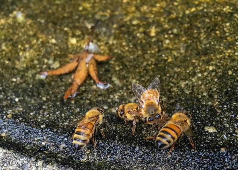 Riva, MD, Honey Bees, Aug 15, 2016, IMG_3200