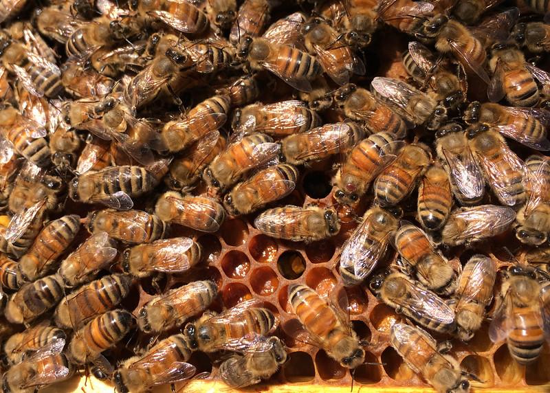 Riva, MD, Honey Bees, Aug 27, 2016