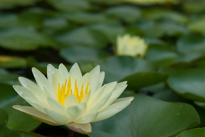 Water Lilly, Yellow