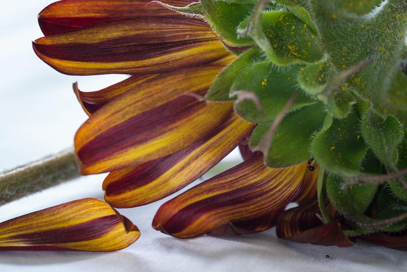 Sunflowers, Riva, MD,  1214,  July 26, 2015