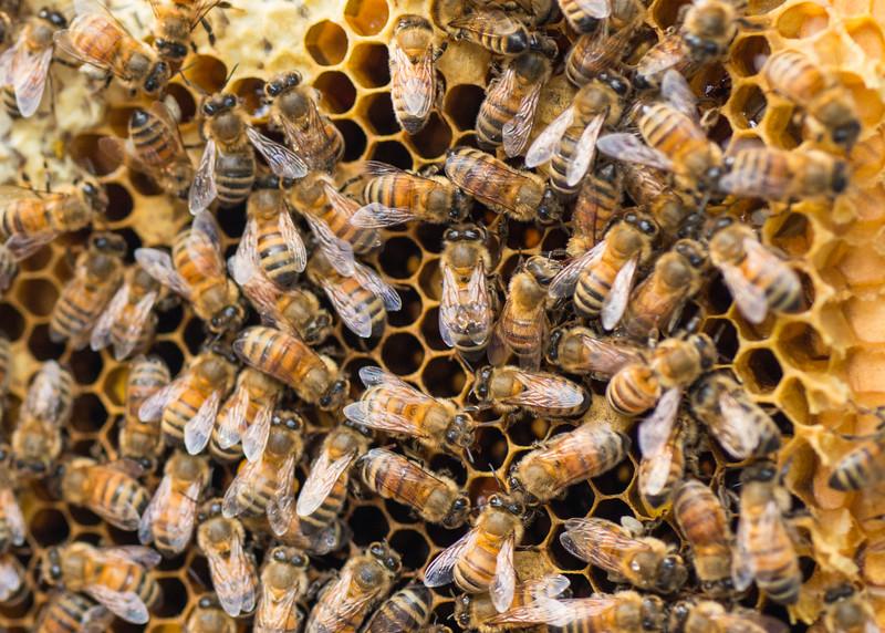 Riva MD, Honey Bees, 1754,  June 08, 2016