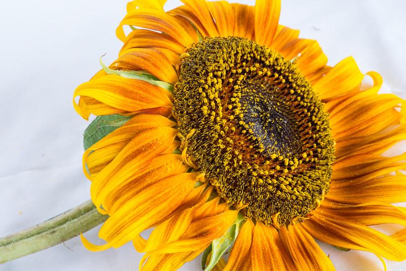 Sunflowers, Riva, MD,  1210,  July 26, 2015