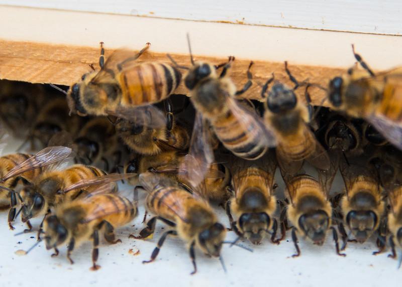 Millersville Md, Arlington Echo, Honey Bees, 1729,  April 19, 2016