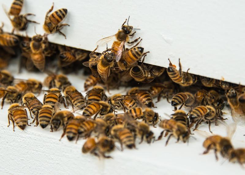 Mary Anns Honey Bees, Riva MD,1824,  September 04, 2016