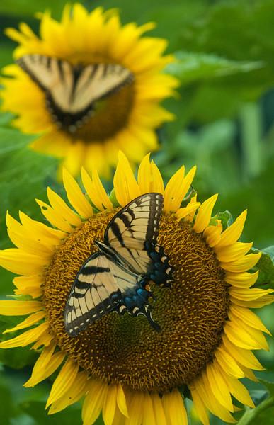 Zang Farm Sunflowers_Butterflies -0088July 21, 2013