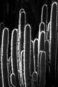 Black and white image of cactus