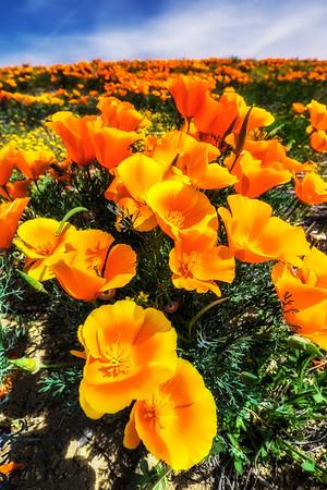 Golden poppies in California