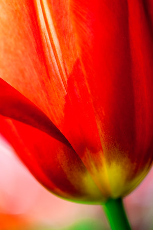 Close up of red tulip petals and stem