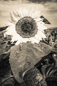 Infrared image of a sunflower in a field