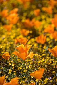 Field of orange poppies