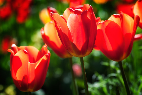 Red and yellow tulips in a garden