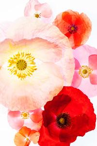High key closeup image of poppies