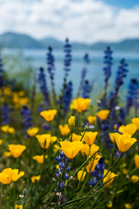 Poppies and lupine with a lake in the background
