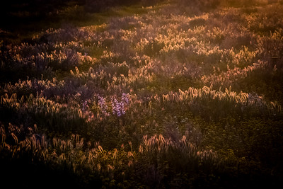 Sunrise over flower field at the Carrizo Plain National Monument, California