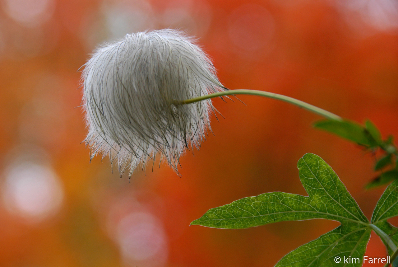 Clematis Puff