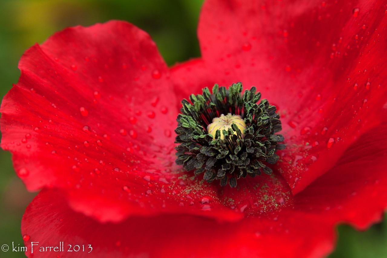 Wet red poppy